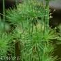 Cyperus isocladus