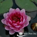 'Perry's Dwarf Red' - fiori del 3° giorno di apertura