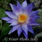 'Star of Siam' - fiore