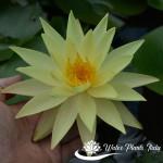 'Betsy Sakata' - fiore del 2° giorno di apertura