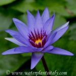 'Bayou Blue' - fiore