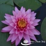 'Saranlarp' - fiore del 3° giorno di apertura